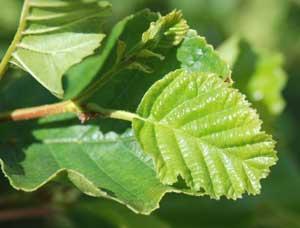Alder Leaf Identification Guide Wiring Diagram Master Blogs