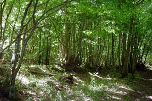 ancient-wood