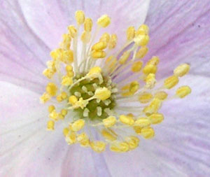 anemone-anthers