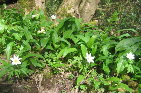anemones-chittle-wood