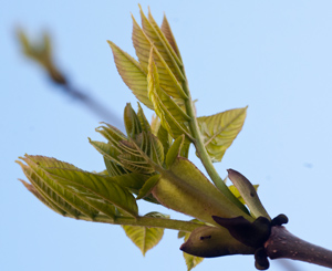 ash-bud-opening
