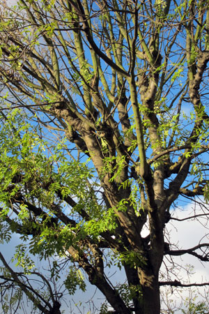 Ash dieback - what to do?  Pre-empt, plant, persevere, keep calm and carry on.