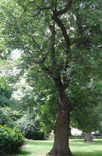 Ash Tree Suomeksi