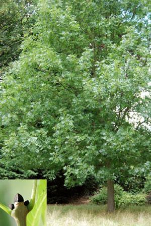 ash tree and bud