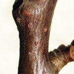 aspen twig