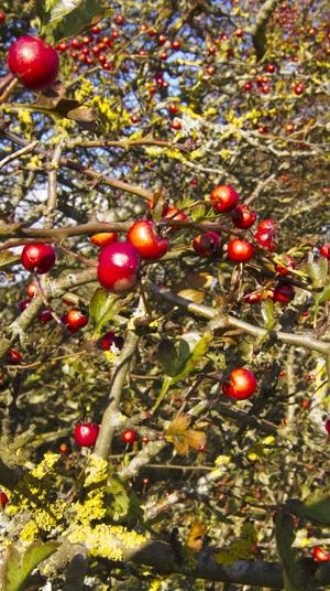 autumn hedgerpw fruits