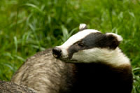 Badger Watching for Beginners