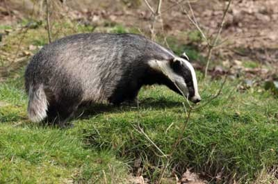 Welsh Battle over Badgers Begins