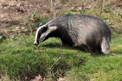New plans for badger culls attacked by protest groups