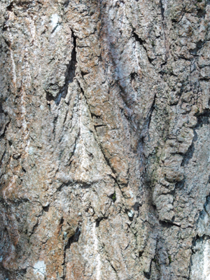 bark of L Poplar