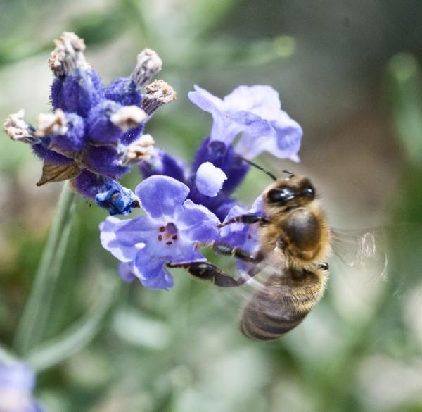 Honey bee - wings beating furiously