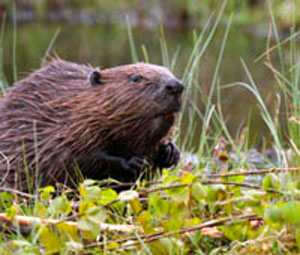 Rewilding and beavers.