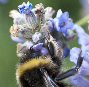 Bumblebees and climate change.