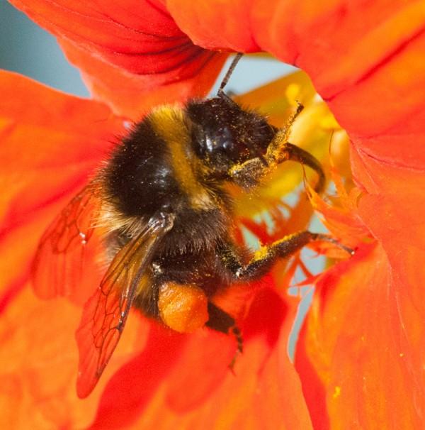 Bumblebee visiting a nasturtium