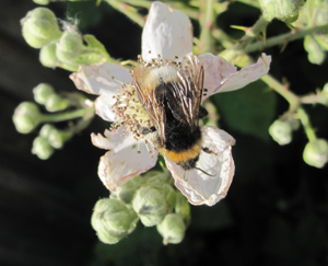 bee-on-bramble
