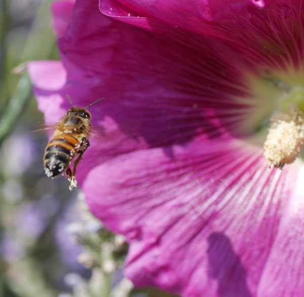 Honey bee with pollen approaching hollyhock