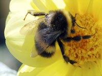 Bees and CCD