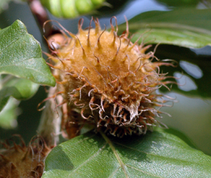 beech fruit