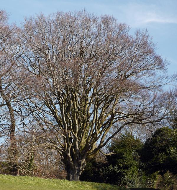 Mature Beech on Box Hill, Surrey.
