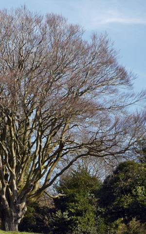 beech on box hill