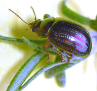 The Rosemary Beetle
