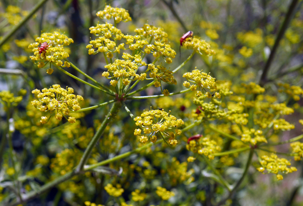 Red soldier beetles on parsnip umbels