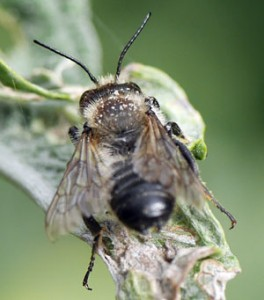Bees and bumblebees : the threat of extinction.
