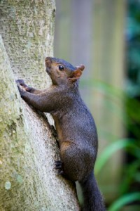 The black squirrel project