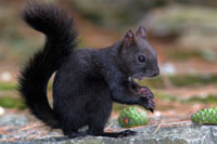 Red squirrel, grey squirrel, black squirrel ...