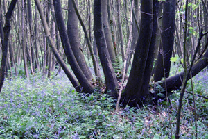 Bluebells and boars