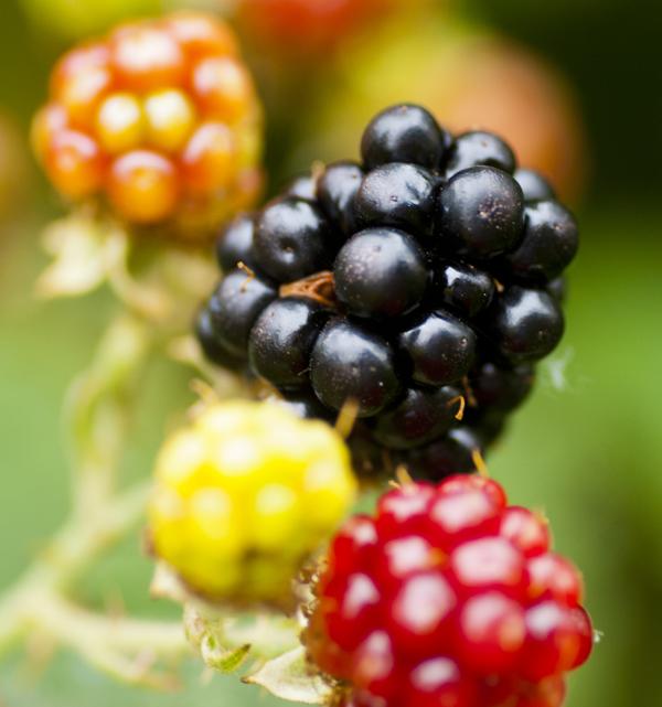 bramble-fruit