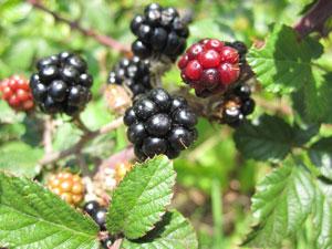 Blackberries - brambles