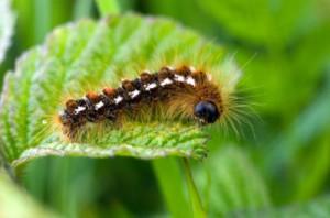 brown-tail-caterpillar