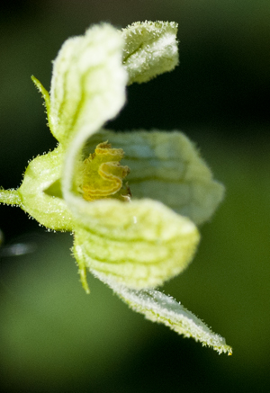 bryony flower hairs