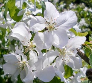 Unusual or exotic trees :the crab apple or wild apple tree.