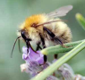 Insect Pollinators in decline