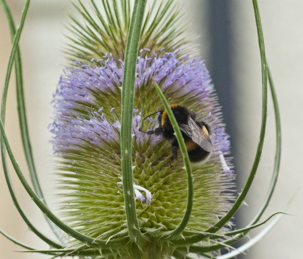 The bumblebees also favour the teasels