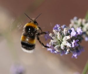 The Great British Bee Count (and App) - 2018.