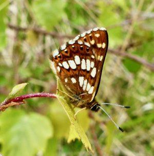 Butterfly management & conservation: the Duke of Burgundy at Denge Wood, Kent