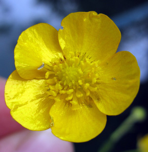 Buttercups creeping bulbous and meadow woodlands flowers and fruits mightylinksfo