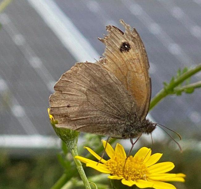 butterfly in solar energy farm