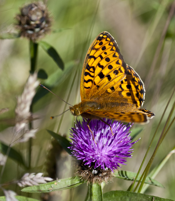 butterfly knapweed