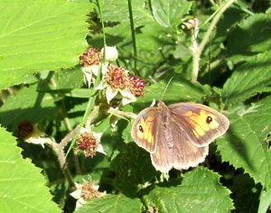 butterfly-on-bramble