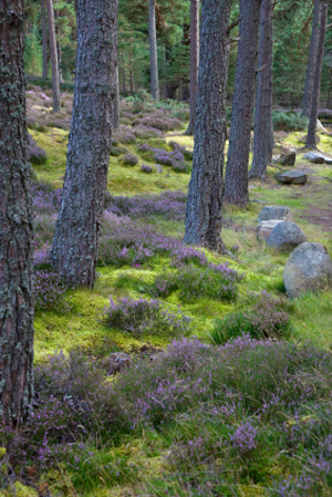 Caledonian forests .....