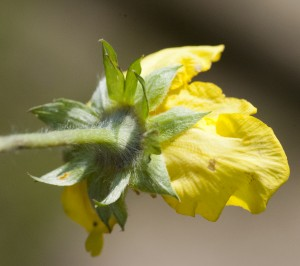 calyx silverweed