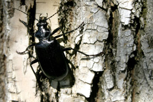 Ground beetles - Carabids declining!