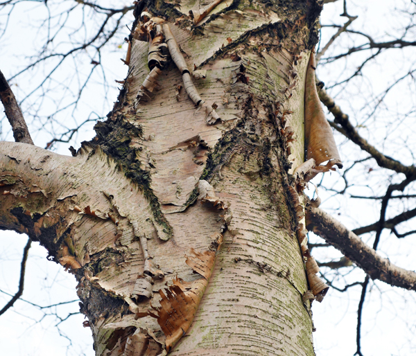 chinese birch