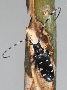 Citrus Longhorn beetle