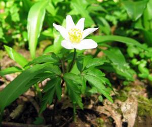 Wood Anemone - Anemone nemorosa.