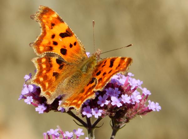 Comma butterfly : photo by A J Symons.